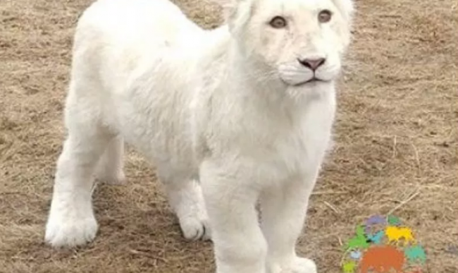 Белой львицы Лавины нет в вольере Ярославского зоопарка: что случилось